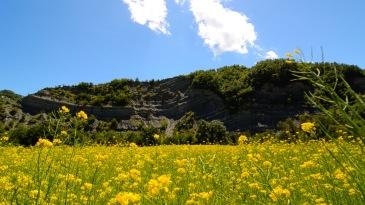 yellow flowers - rapeseed screenshot
